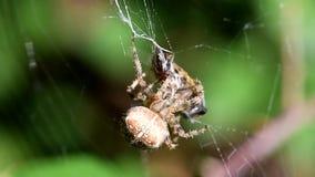 Araña de jardín europea, araña de la diadema, araña cruzada, tejedor coronado del orbe, diadematus del Araneus almacen de metraje de vídeo