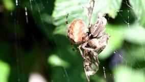Araña de jardín europea, araña de la diadema, araña cruzada, tejedor coronado del orbe, diadematus del Araneus almacen de video