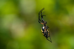 Araña de jardín negra y amarilla Imagenes de archivo