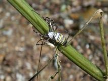Araña de la abeja fotografía de archivo