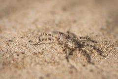 Araña de la arena Imagen de archivo libre de regalías