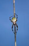 Araña de la avispa Fotografía de archivo libre de regalías