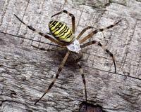 Araña de la avispa Imágenes de archivo libres de regalías