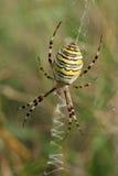 Araña de la avispa Foto de archivo