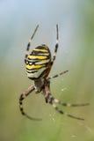 Araña de la avispa Fotografía de archivo