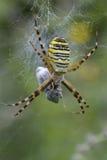 Araña de la avispa Fotos de archivo