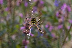 Araña de la avispa Fotos de archivo libres de regalías