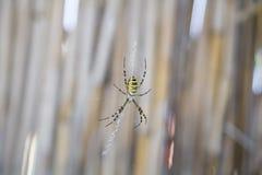 Araña de la avispa (bruennichi del Argiope) Fotos de archivo libres de regalías