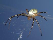 Araña de la avispa en el cielo Imagen de archivo libre de regalías