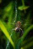 Araña de la avispa que come la abeja Fotografía de archivo libre de regalías