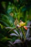 Araña de la avispa que come la abeja en el web Fotografía de archivo