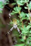 Araña de la avispa que cuelga en Web. Bruennichi del Argiope Foto de archivo libre de regalías