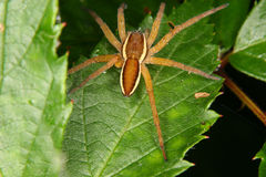 Araña de la balsa (fimbriatus de Dolomedes) 2 Fotografía de archivo libre de regalías