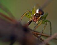 Araña de la balsa, juvenil del fimbriatus de Dolomedes Imágenes de archivo libres de regalías