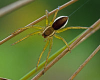 Araña de la balsa, juvenil del fimbriatus de Dolomedes Fotografía de archivo
