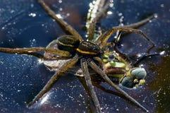 Araña de la balsa que coge su presa Imagenes de archivo