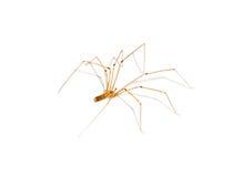 Araña de la casa imagen de archivo