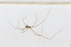 Araña de la casa en la pared Foto de archivo libre de regalías
