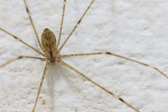 Araña de la casa en la pared Fotografía de archivo libre de regalías