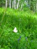 Araña de la col de la mariposa en los arroyos de Olenyi del parque natural en la región de Sverdlovsk fotos de archivo