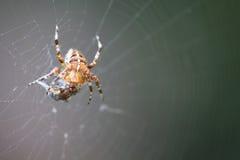 Araña de la diadema con la presa Imágenes de archivo libres de regalías