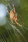 Araña de la diadema en Web Imágenes de archivo libres de regalías