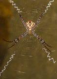 Araña de la firma junto con su web de la firma El fondo es marrón verdoso Foto de archivo libre de regalías
