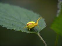 Araña de la flor. Imágenes de archivo libres de regalías