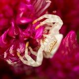 Araña de la flor blanca Imagenes de archivo