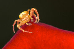 Araña de la flor blanca Imagen de archivo