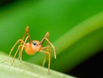 Araña de la hormiga (hembras) Fotografía de archivo