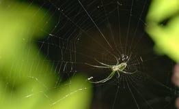 Araña de la huerta de Leucage Venusta en web imagen de archivo libre de regalías