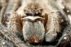 Araña de la lluvia (superciliosus de Palystes) Imagen de archivo