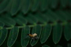 Araña de la macro del puente Foto de archivo