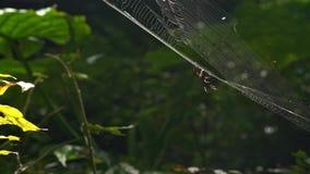Araña de la orbe-web de la cámara lenta en zona de recreo del bosque del Estado de Manyueyuan almacen de video