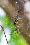 Araña de la palma después de la lluvia. Seychelles 2013 Imagen de archivo