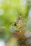 Araña de la palma después de la lluvia. Seychelles 2013 Imágenes de archivo libres de regalías