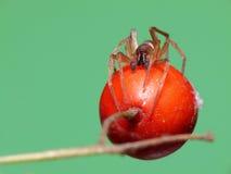araña de la Plano-panza Foto de archivo libre de regalías