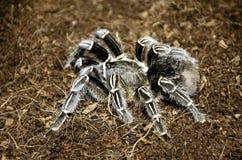 Araña de la tarántula imagenes de archivo