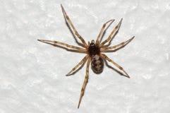 Araña de la telaraña de Triangulate, triangulosa de Steatoda Foto de archivo libre de regalías