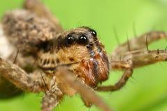 Araña de lobo foto de archivo libre de regalías