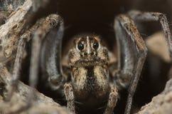 Araña de lobo fotografía de archivo