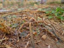 Araña de lobo del camuflaje. foto de archivo