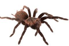 Araña de los vagans de Brachypelma aislada Imagenes de archivo