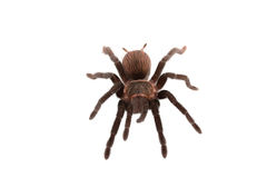 Araña de los vagans de Brachypelma aislada Imagen de archivo libre de regalías