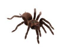 Araña de los vagans de Brachypelma aislada Imágenes de archivo libres de regalías