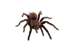 Araña de los vagans de Brachypelma aislada Foto de archivo