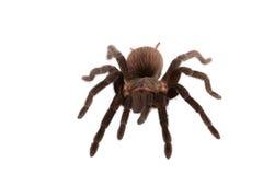 Araña de los vagans de Brachypelma aislada Foto de archivo libre de regalías