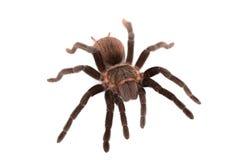 Araña de los vagans de Brachypelma aislada Fotografía de archivo