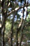 Araña de madera de oro en fondo verde Fotografía de archivo libre de regalías
